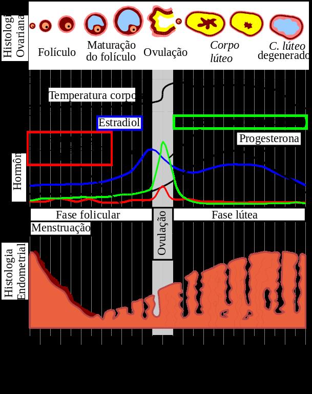 Representação do ciclo menstrual. Se atentar para os hormônios de cada fase.