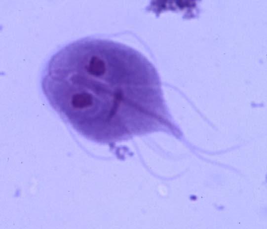 Representação do protozoário Giardia lamblia
