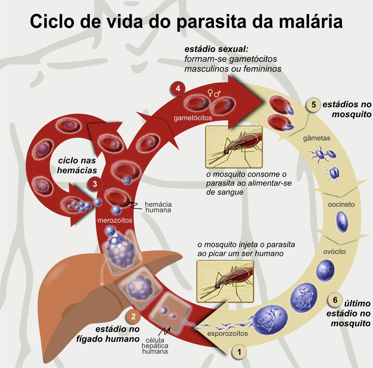 Representação do ciclo de vida do parasita que causa a malária.