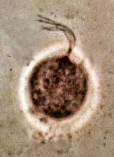 Representação do parasita Tricomonas vaginalis