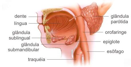 Glândulas salivares, os dentes e a língua. Esses participam da digestão química (enzimas) e mecânica (mastigação).