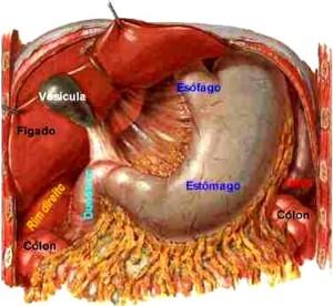 Localização do estômago humano