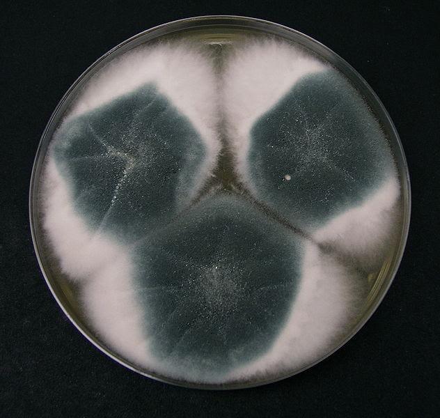 Aspergilose