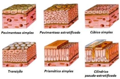 Imagem com diferentes tipos de epitélio