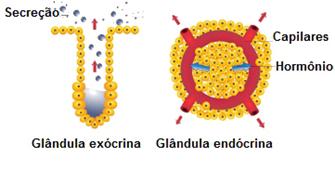 Na esquerda, uma glândula exócrina, e na direita, uma glândula endócrina, liberando hormônios na correte sanguínea.