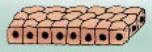 Células cúbicas