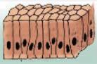 Células cilíndricas