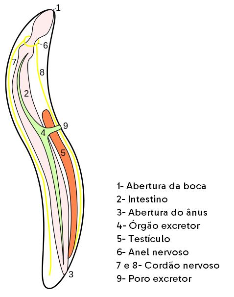 anatomia de um nematelminto
