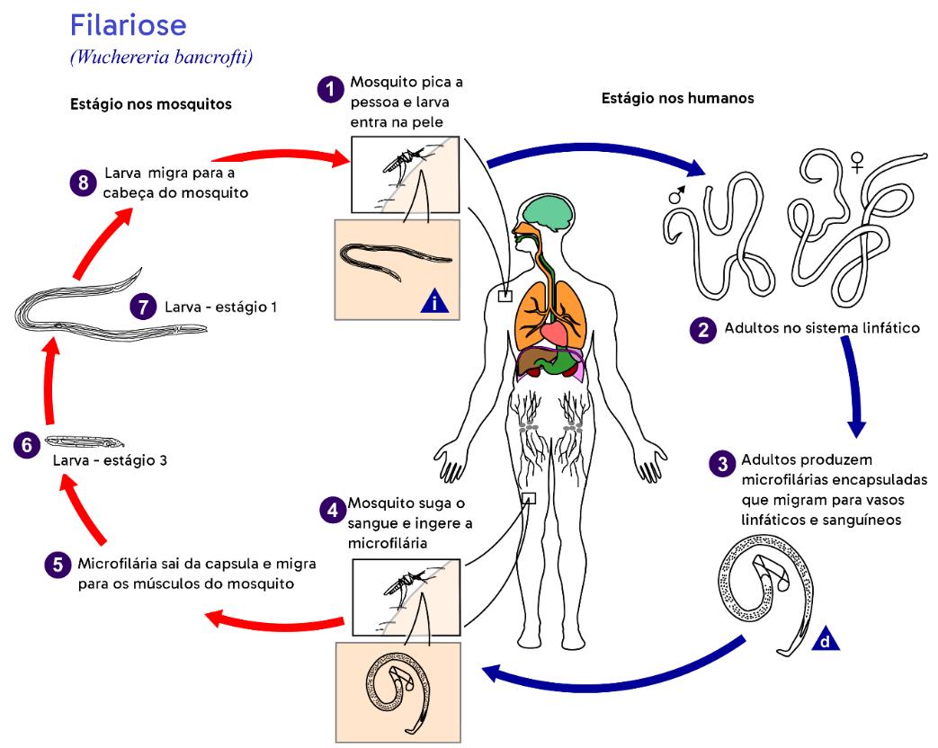 Esquema do ciclo da filariose