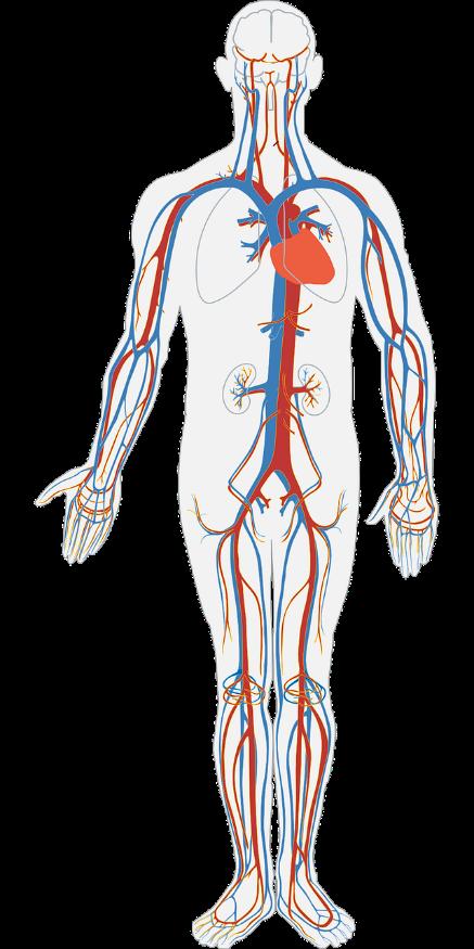 Esquema simplificado do sistema circulatório humano.