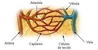Vasos sanguíneos e suas divisões.