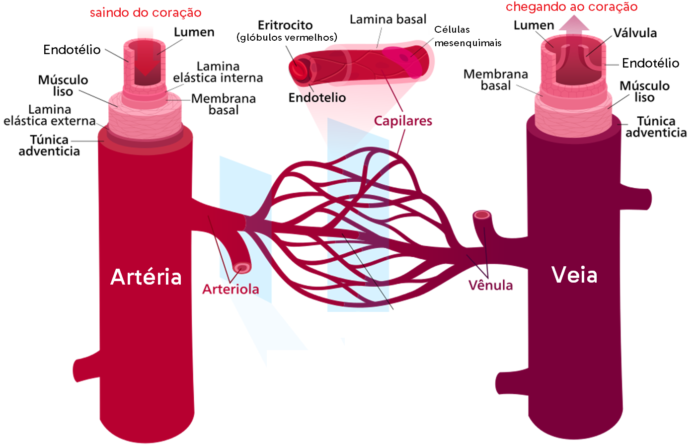 A imagem mostra algumas diferenças entre as artérias, veias e capilares.