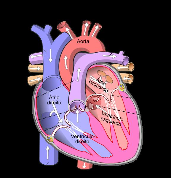 Esquema do coração, indicando os vasos e valvas que o compõe.