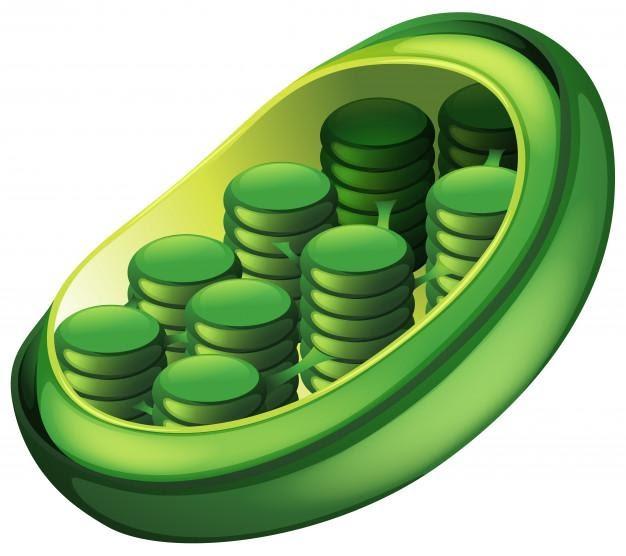 Figura 2- imagem do cloroplasto