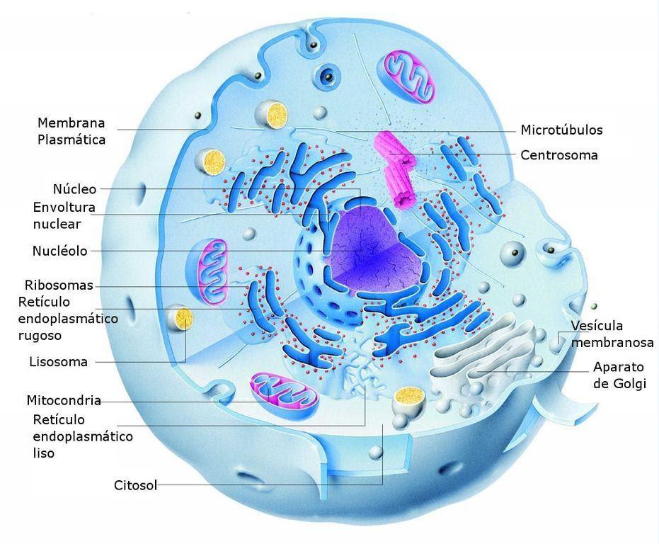 Figura 4- desenho esquemático de uma célula eucarionte