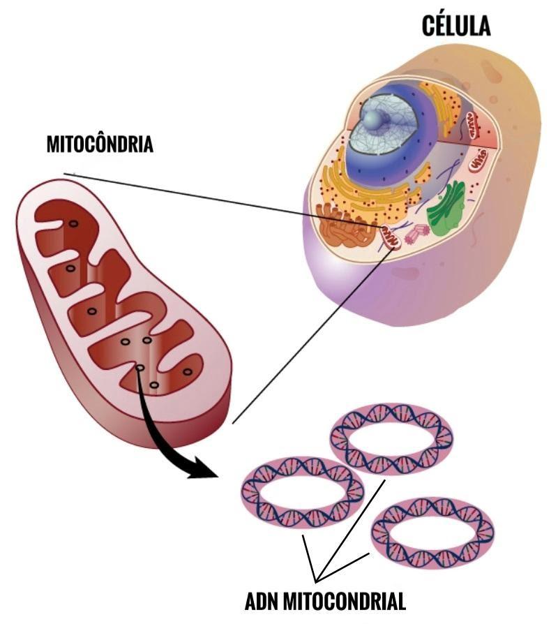 Figura 10- imagem da mitocôndria