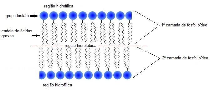 Figura 11- imagem da membrana plasmática