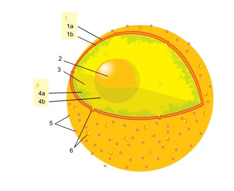 Figura 12- imagem da carioteca com os poros. Mais ao centro encontramos o nucléolo.